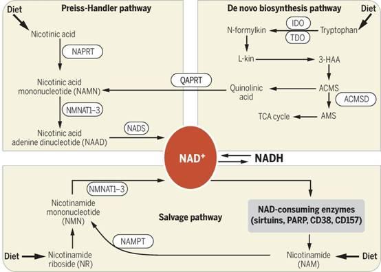 Hiiwer科普:为什么补充NMN可以抗衰老?
